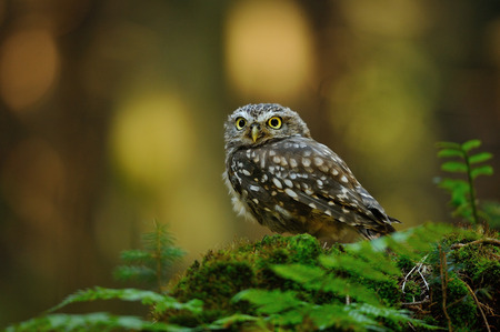 Little owl standing on moss tree stump in the forest