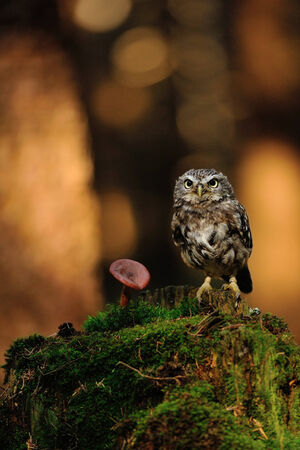 Little owl standing on moss tree stump in the forest next to the mushroom photo