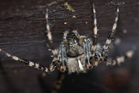 Front macro view to cross spider standing upside down on wooden branch photo