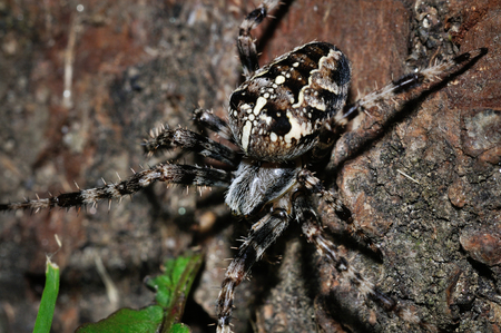 Crawling cross spider donw to grass from closeup macro view photo