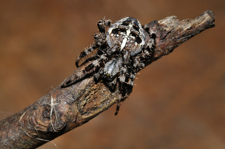 Cross spider crawling on twig from closeup macro view photo