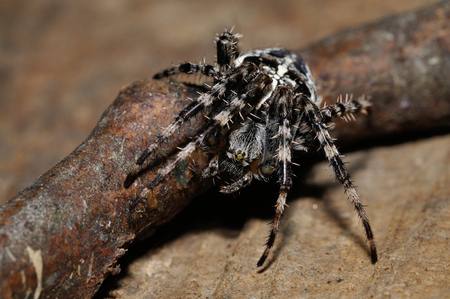 Cross spider crawling down from twig from closeup macro view photo