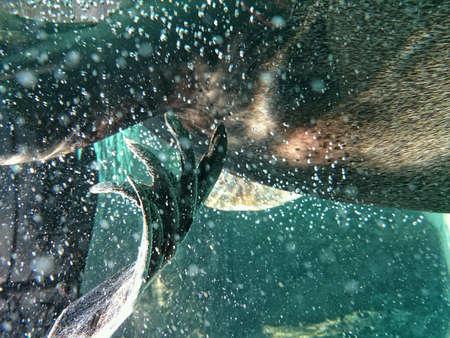 flipper: Seal flipper under water with bubbles