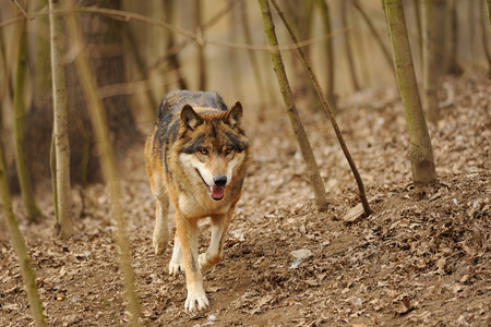 Wolf from the front running in the forrest