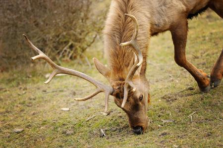 bending down: Elk bull with bending down head eating grass