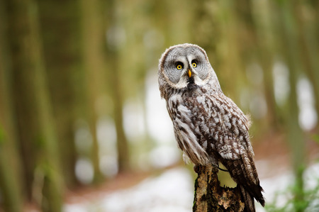 Great grey owl in the winter forest