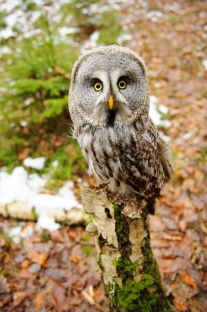 swoop: Great grey owl in the winter forest