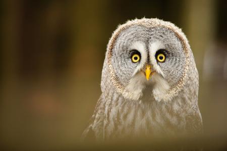 Great grey owl portrait in the winter forest Standard-Bild