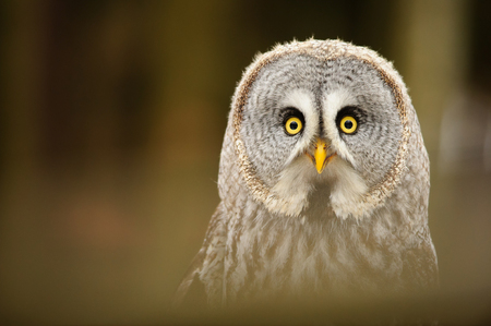Great grey owl portrait in the winter forest Stock Photo