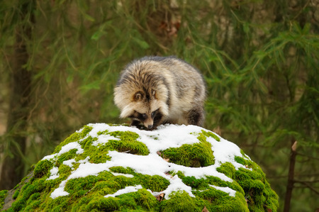 undomestic: Raccoon dog sniffing in the winter forest Stock Photo