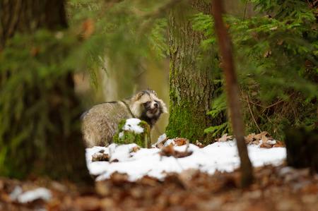 undomestic: Raccoon dog walking in the winter forest