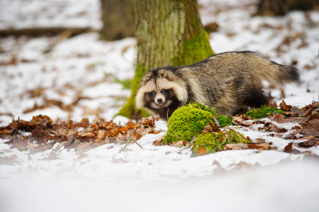 nuisance: Raccoon dog walking in the winter forest