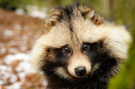 undomestic: Raccoon dog cute close-up potratit in the winter forest