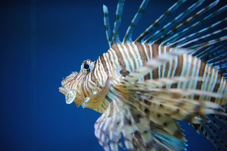 spreaded: Red lionfish in water with blue background and spreaded fin from close-up detail view