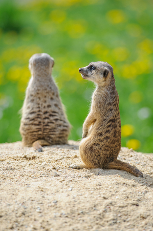 watch groups: Two Meerkats on watch on sandy ground with green grass on background Stock Photo