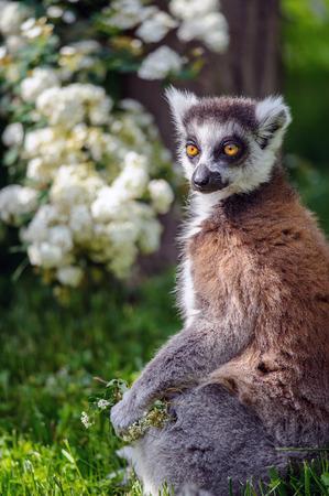 suitor: Lemur corteggiatore con fiori seduto sulla giornata di sole estivo su erba