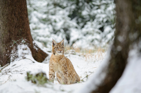 cold season: Eurasian lynx cub sitting in winter colorful forest with snow. Green trees in background. Freeze cold season.