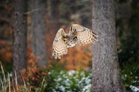 fly black: Flying Eurasian Eagle Owl in colorfull winter forest