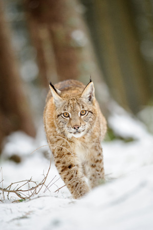 cold season: Eurasian lynx cub walking on snow in forest. Freeze cold season.