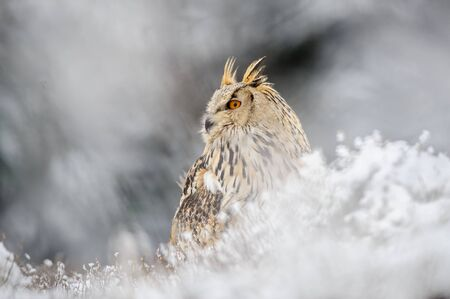 animal in the wild: Eurasian Eagle Owl sitting on the ground with snow in winter time. Freeze weather with closeup raptor. Stock Photo