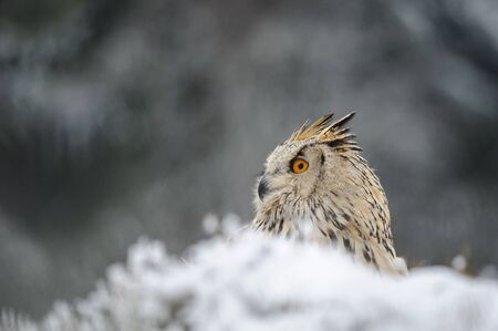 raptor: Eurasian Eagle Owl sitting on the ground with snow in winter time. Freeze weather with closeup raptor. Stock Photo