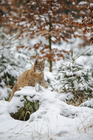 cold season: Eurasian lynx cub lying in winter colorful forest with snow. Orange trees in background. Freeze cold season.