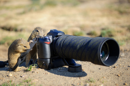 say cheese: European ground squirrel as a photographer with big professional camera on sandy ground