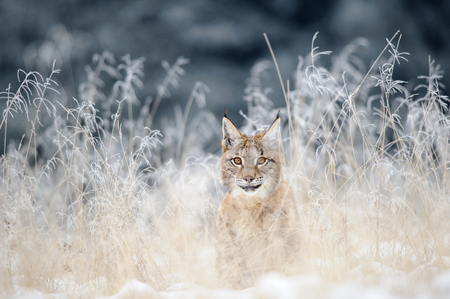 Eurasian lynx cub hidden in high yellow grass with snow. Cold winter season. Freezy weather.