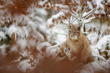 cold season: Eurasian lynx cub shaking down snow from his paw in winter forest. Orange trees in background. Freeze cold season. Foto de archivo