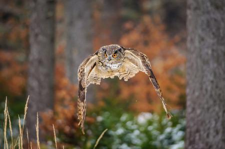 bird eating raptors: Flying Eurasian Eagle Owl in colorfull winter forest