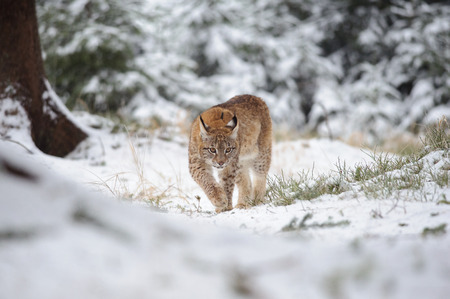 cold season: Eurasian lynx cub walking in winter colorful forest with snow. Green trees in background. Freeze cold season.
