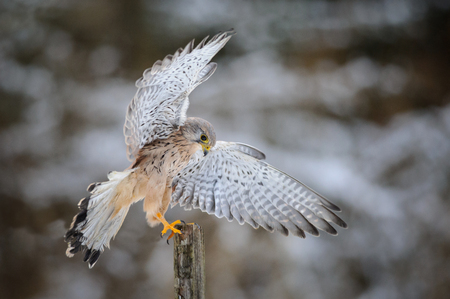 wooden post: Landing common kestrel to wooden post in forest. Snow cold freeze weather with raptor in forest with spread out wings.