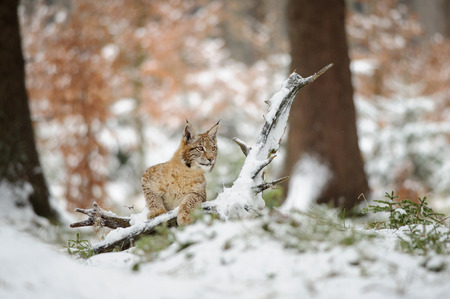 cold season: Eurasian lynx cub standing in winter colorful forest with snow. Orange trees in background. Freeze cold season. Foto de archivo