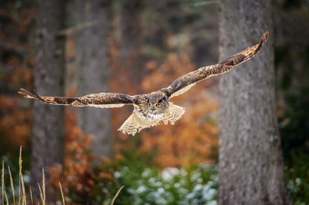 sowa: Latanie Puchacz w kolorowe zimowym lesie. rozpiętość skrzydeł samolotu w locie.