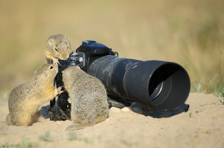 Group of european ground squirrels looking to big professional  camera with tele lens on it on summer sandy ground.