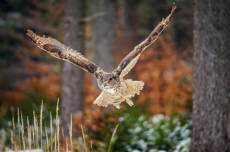 Flying Eurasian Eagle Owl in colorfull winter forest. Wing span in fly.