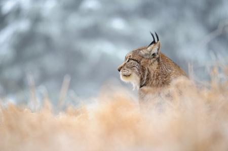 oido: Eurasian lynx sitting on ground in winter time on yellow grass. Green white forest in background.