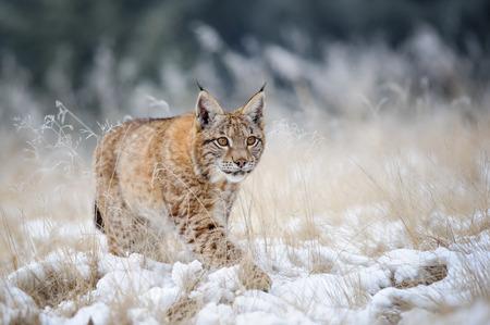 furry animals: Eurasia lince cachorro caminar sobre la nieve con alta hierba amarilla en el fondo. Temporada de invierno. Tiempo Freezy.