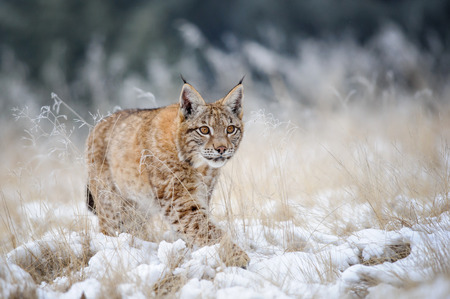 Eurasian lynx cub walking on snow with high yellow grass on background. Cold winter season. Freezy weather.