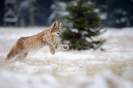 Running eurasian lynx cub on snowy ground. Cold winter season. Freezy weather.