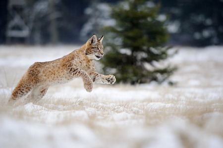 Running eurasian lynx cub on snowy ground. Cold winter season. Freezy weather.
