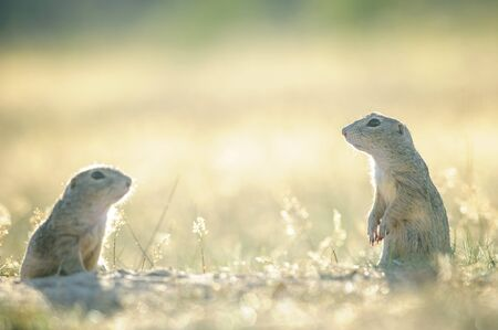 squirrel: Two european ground squirrels opposite to them selfs on the ground with yellow grass in summer backlight