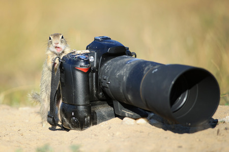 animal photo: European ground squirrel like a camerman with professional camera and open mouth like comment something Stock Photo