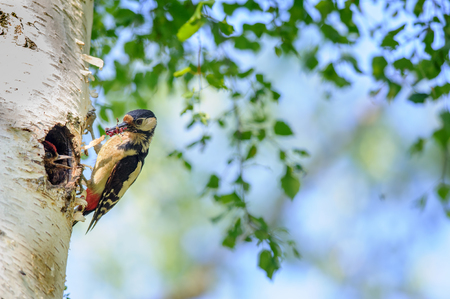 young bird: Great spotted woodpecker on birch tree next to hole with young bird, having grubs and insect in his beak Stock Photo