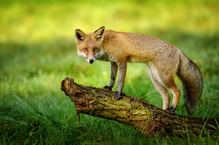 canny: Red fox standing on tree trunk in green grass on nice autumn sunlight