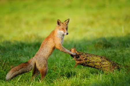 canny: Red fox standing in green grass leaning to tree trunk in beautiful autumn sunlight Stock Photo