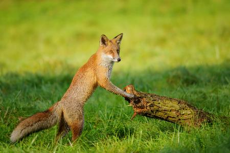 Red fox standing in green grass leaning to tree trunk in beautiful autumn sunlight Standard-Bild