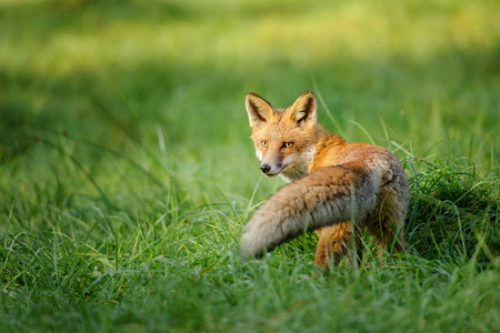Red fox looking behind in green grass with nice tail in front