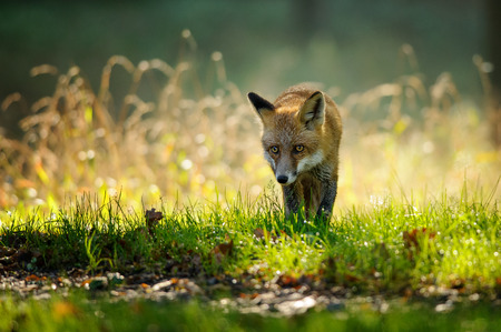 Red fox walking from front view in autumn backlight in colorfull green and yello grass