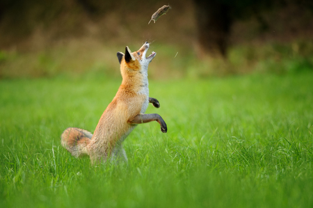 Playfull red fox throwing haunted mouse upon green grass during autumn near forest